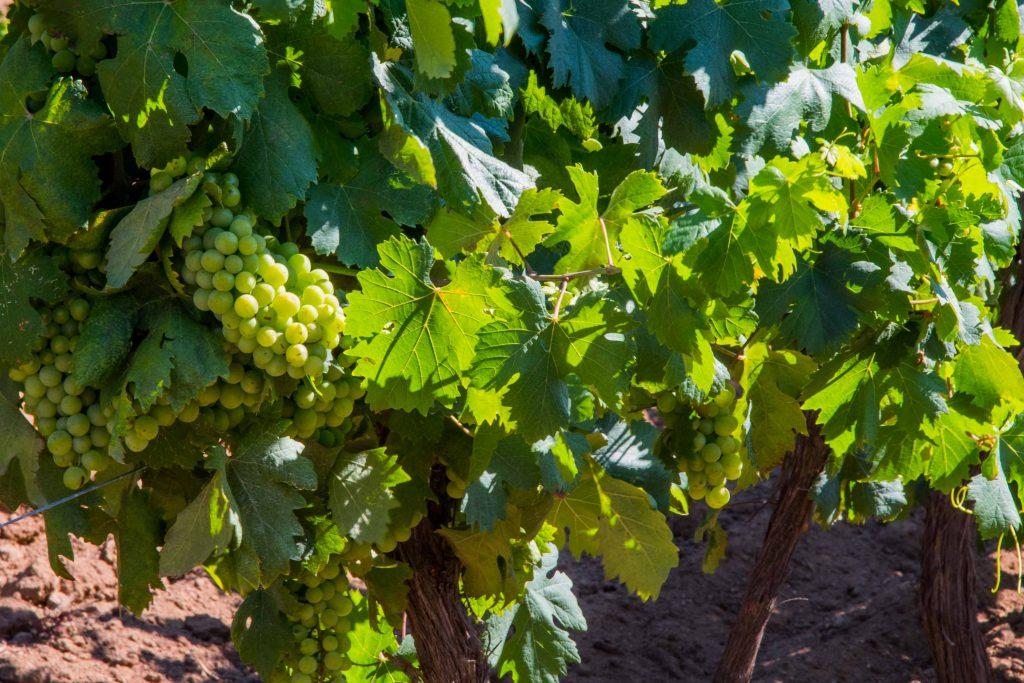 Vin de Sartène en corse du sud