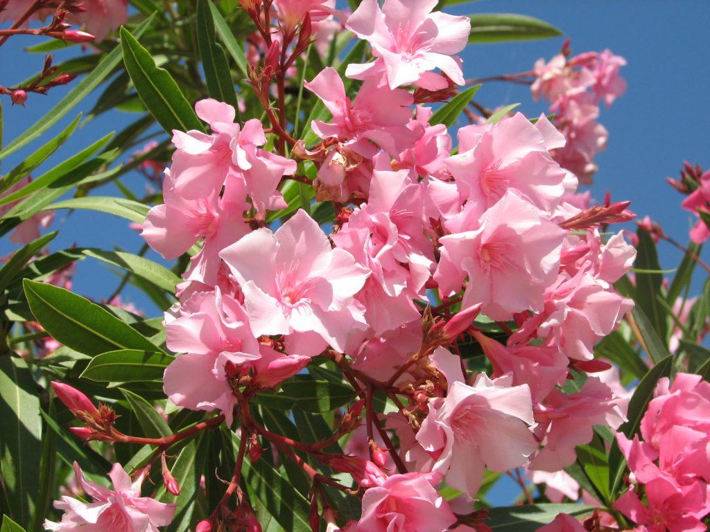 Lauriers. Nature, printemps en corse